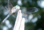 Many species of dragonflies and damselflies can be found in the Pine Barrens, some unique to the area.