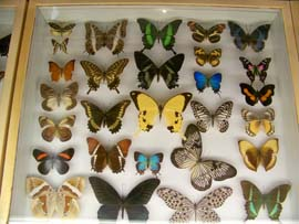 Butterfly collection at Insectropolis