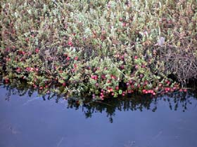 Cranberry plant ready for harvest
