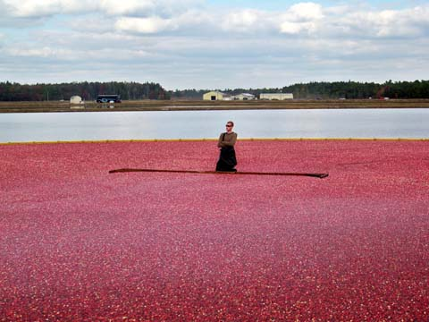 Cranberry Harvest in the Pines