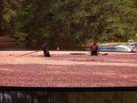 Cranberry harvest in the Pine Barrens