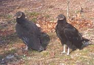 Black vultures are being found in the Pine Barrens