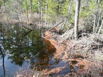 The beaver dam and lodge that is causing the flooding of Webb's Mill bog.