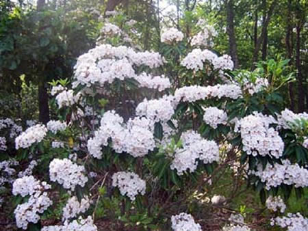 Mountain Laurel in full bloom in the Pine Barrens